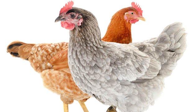 À moi les petites poulettes !